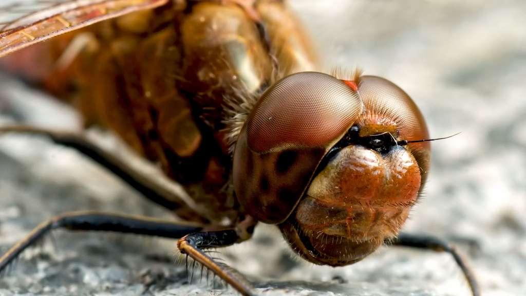 Les grands yeux de la libellule