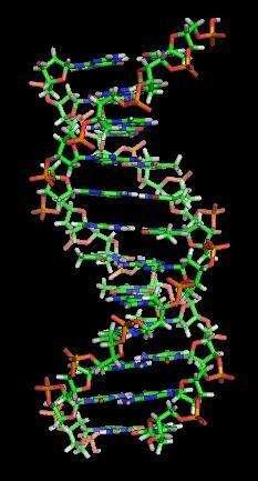 Lors de chaque division cellulaire, l'intégralité des 3,2 milliards de paires de base composant l'ADN sont répliquées. Il arrive qu'il y ait des erreurs, que l'on appelle des mutations. Elles se produisent aussi du fait de certains polluants génotoxiques. Il n'existe aucun cancer sans mutation. © Zephyris, Wikipédia, cc by sa 3.0