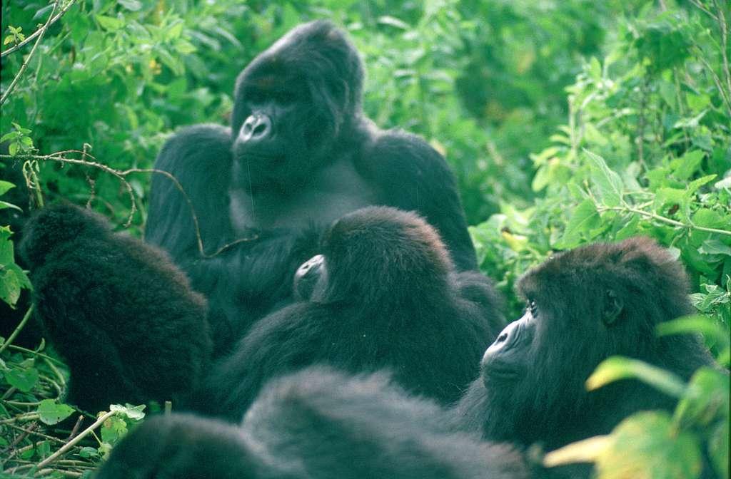Gorilles de montagne