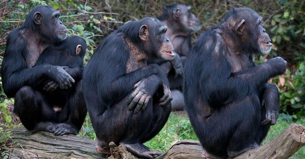 Chimpanzés en observation. © Ruth W, CC BY-NC 2.0