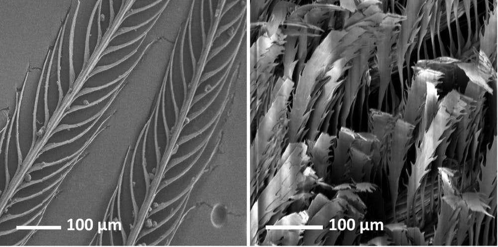 À gauche, une plume noire normale de Lesser melampitta et à droite une plume super-noire d'un paradisier (ou oiseau de Paradis). © Dakota McCoy, CC BY-ND