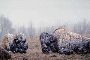 Cliquer pour agrandir. La survie des populations de bisons sauvages dépend de nombreux facteurs, dont la limitation de leur habitat, qui doit être très étendue, et la rigueur des hivers. © University of Calgary