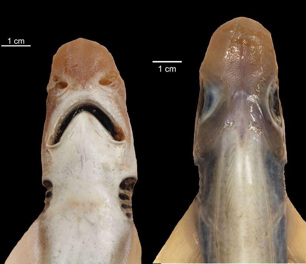 Le requin sans peau est aussi dépourvu de dent.  © Antonello Mulas, Université de Cagliari, Italie