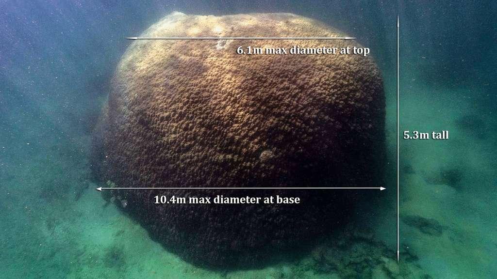Le massif de Porites est le plus large jamais identifié au niveau de la Grande Barrière de corail. © Smith et al, 2021