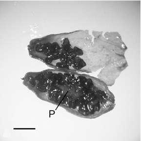 Le fruit de Silene stenophylla découvert dans le pergélisol. On distingue le placenta (P) et les graines noires (échelle : 1 mm). © Yashina et al. 2012, Pnas