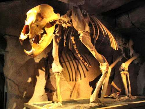Squelette de l'ours des cavernes. © DR