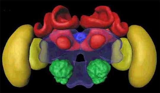Cerveau de l'abeille en vue frontale. En rouge les corps pédonculés, structures cérébrales de haut niveau nécessaires à l'apprentissage de discriminations non linéaires. Le blocage de ces structures entraîne une incapacité à résoudre ces discriminations mais n'empêche pas la résolution de discriminations simples. © R. Menzel, Freie Universitaet, Berlin