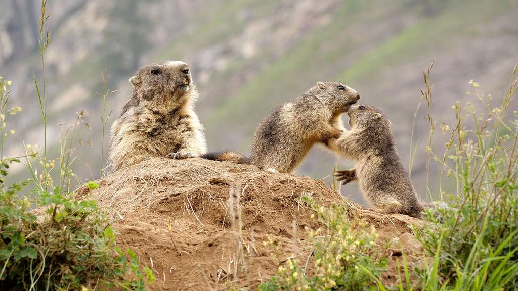 Marmottes et marmottons : sifflements et jeux dans les vallées des Alpes