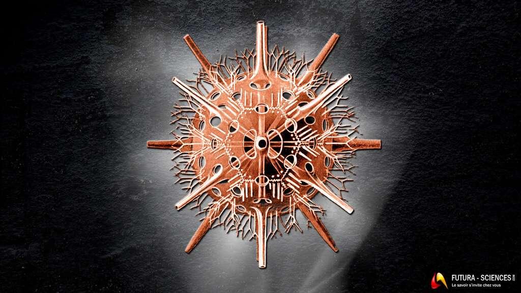 Radiolaire Diporaspis nephrophora. © Ernst Haeckel - Domaine public