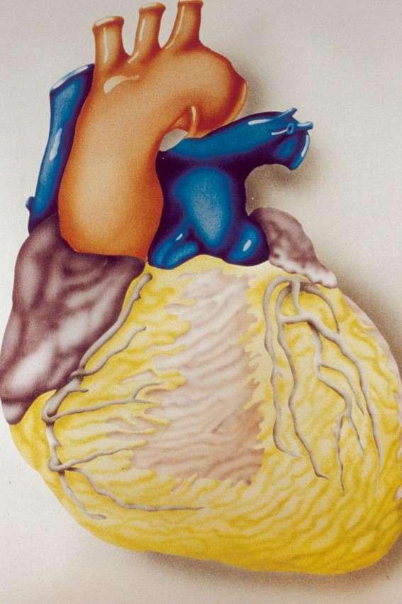 L'hypothyroïdie est connue pour augmenter les risques de bradycardie (cœur trop lent) quand l'hyperthyroïdie est plutôt associée à la tachycardie (cœur trop rapide). Si les hormones thyroïdiennes agissent directement sur le muscle cardiaque, elles peuvent aussi agir à travers certains neurones. © Inserm