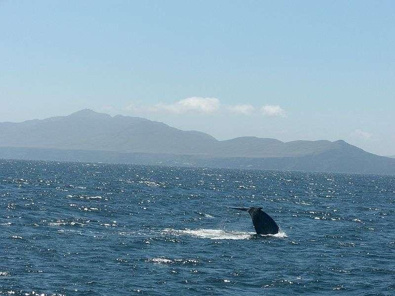 Queue d'une baleine bleue en plongée. © Schulman, domaine public