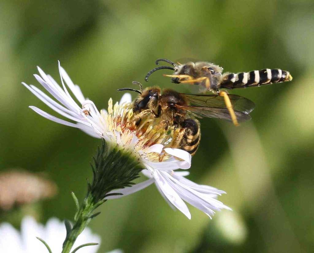 Halictus scabiosae - Halicte