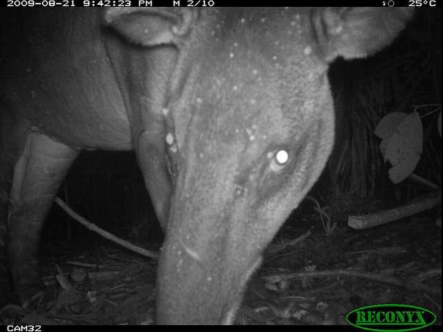 Exemple des clichés réalisés par des appareils photo à déclenchement automatique, la photo de ce tapir (Tapirus sp.) en vadrouille nocturne dans une forêt du Panama. © Smithsonian Wild, Flickr, CC by-nc-sa 2.0