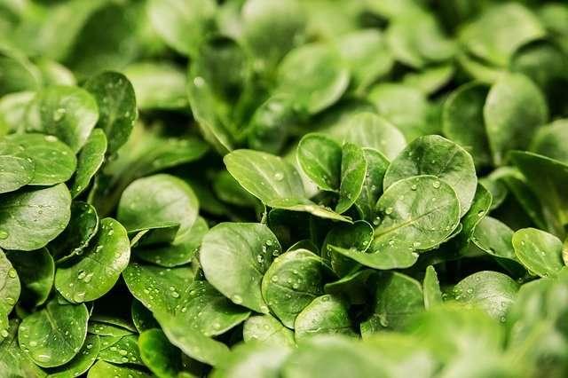 La mâche, une salade hivernale. © Ejaugsburg , Pixabay, DP