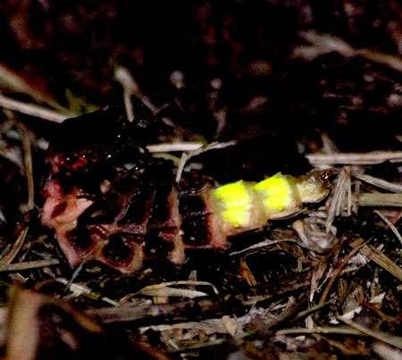 Le ver luisant est bioluminescent (femelle ailée du lampyre). © Jacques Chibret, Flickr CC by-nc-sa 2.0