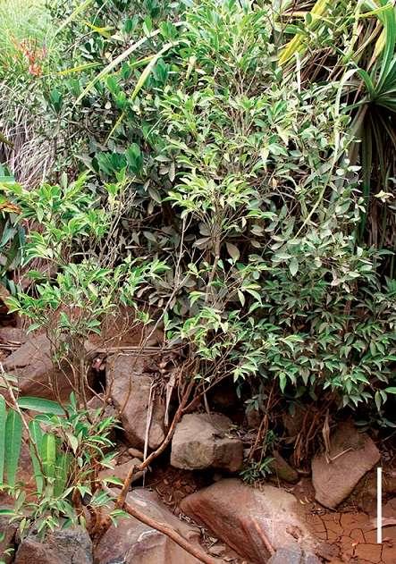 Les plantes capables d'absorber les métaux lourds sont rares et font l'objet de recherches dans le monde. Ce petit arbre, de 1,5 à 8 m de hauteur, découvert en 2014 aux Philippines, a été baptisé Rinorea niccolofera car les scientifiques ont découvert son appétence pour le nickel. Ce végétal accumule le nickel dans ses feuilles jusqu'à 18 mg/g. La barre d'échelle représente 20 cm. (Voir notre article sur cet arbuste philippin). © Edwino S. Fernado, PhytoKeys, 2014, CC by 4.0