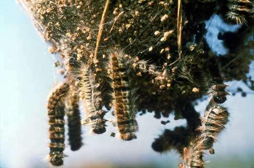 Chenilles de processionnaire du pin (Lépidoptères) infestées par un virus pathogène © Photo J. Niore/INRA - Toute reproduction et exploitation interdites