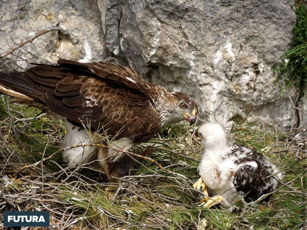 Aigle de Bonelli nourrissant son petit