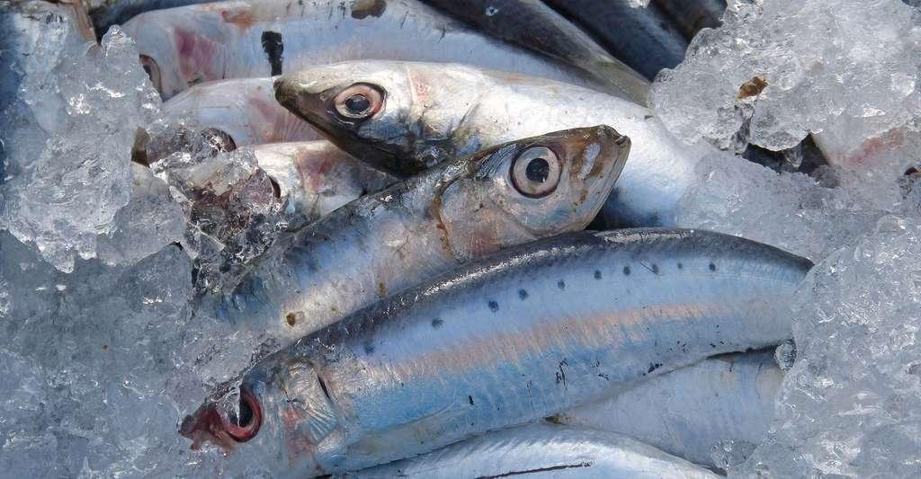 Comment évaluer la fraîcheur du poisson ? © Makamuki0, DP