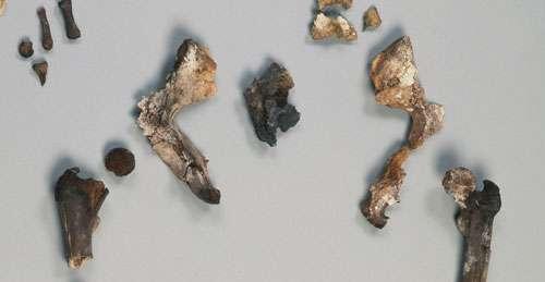 Fig. 8 - Détail du bassin d'Arégonde, les coxaux présentent des caractéristiques morphologiques du sexe féminin. © Loïc Hamon, MAN
