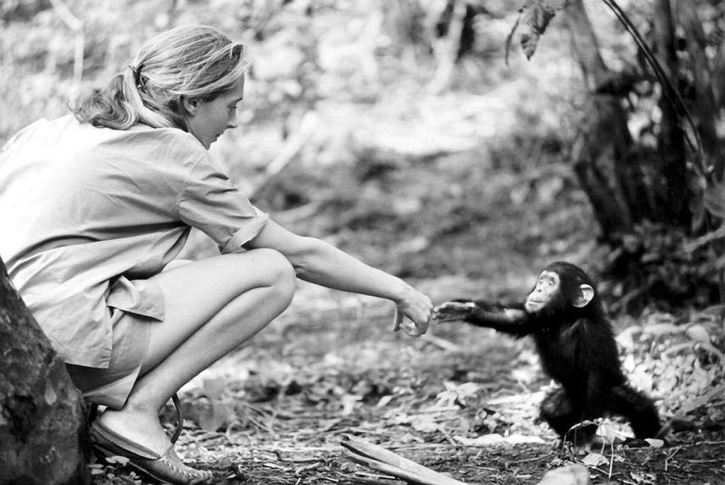 Jane Goodall est partie vivre dans la forêt auprès des chimpanzés dès l'âge de 26 ans. C'est là qu'a commencé cette magnifique histoire. © Institut Jane Goodall France