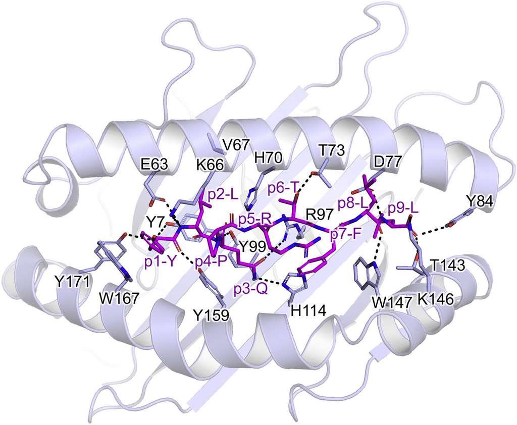 Le morceau de la protéine S, S269-277 (en violet), lié au HLA-A (serpentin gris) par des liaisons hydrogènes. © Priyanka Chaurasia et al., Journal of Biochemistry, 2021