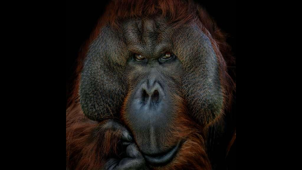 L'orang-outan, l'homme de la forêt