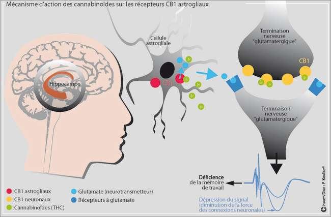 Ce schéma récapitule le mécanisme d'action du cannabis sur la mémoire. Le cannabis, schématisé par le THC (en vert) arrive au niveau des cellules astrogliales de l'hippocampe et va se fixer à ses récepteurs CB1. Ces cellules envoient alors un neurotransmetteur, le glutamate, au niveau de la terminaison présynaptique des neurones. En réponse, on obtient une altération de la mémoire de travail. Le cannabis qui vient se fixer sur les récepteurs CB1 des neurones n'a quant à lui pas d'influence dans le processus de mémorisation. © Inserm