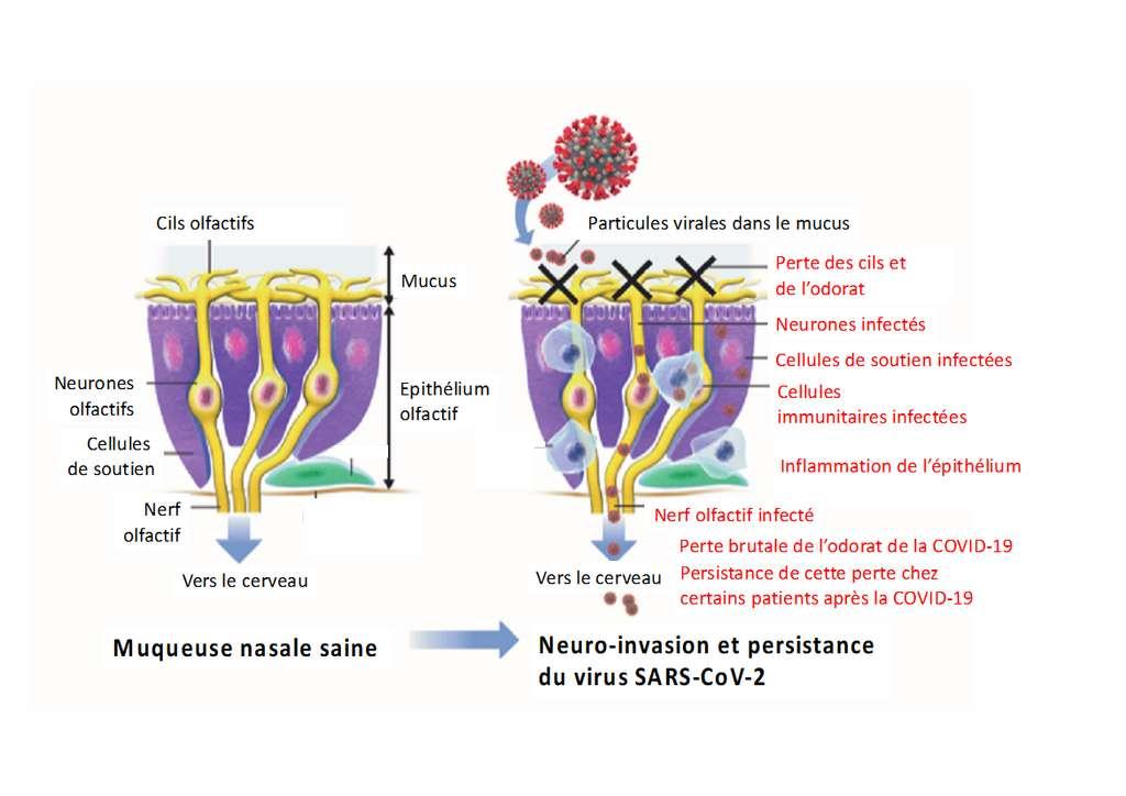 Schéma représentant les différentes étapes qui surviennent au niveau de l'appareil sensoriel et qui concourent à l'anosmie liée à la Covid-19. © Unité Perception et Mémoire, Institut Pasteur