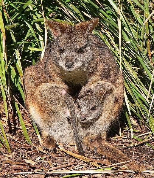 Wallaby de Parma et son petit. © Benjamint444, Wikipédia, DP