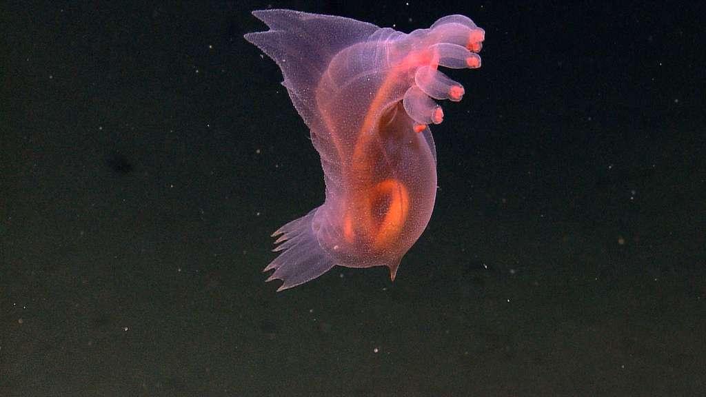 Sans tête, il est vrai, mais pas si monstrueuse, l'holothurie Enypniastes eximia vit sur le fond mais ne dédaigne pas nager un peu au-dessus pour aller voir plus loin si le sédiment ne serait pas plus nourricier. Son corps translucide laisse voir son tube digestif mais aussi la rareté des organes. En haut à droite, la collerette et les cônes servant à la nage ; en bas à gauche, des replis tégumentaires formant des nageoires. © NOAA, expl5475, CC by-nc-sa 2.0