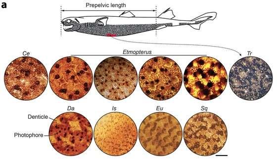 Un exemple de diversité dans des photophores des requins. La zone en rouge sur le dessin est observée chez Centroscyllium (Ce), Dalatias (Da), Euprotomicrus (Eu), Isistius (Is), Squaliolus (Sq) et Trigonognathus (Tr). La barre d'échelle représente 500 µm, soit un demi-millimètre. © Claeys et al., Scientific Reports, 2014, cc by nc nd 3.0