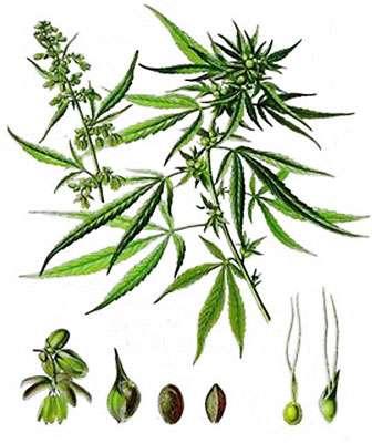 Chanvre (planche botanique). © DR