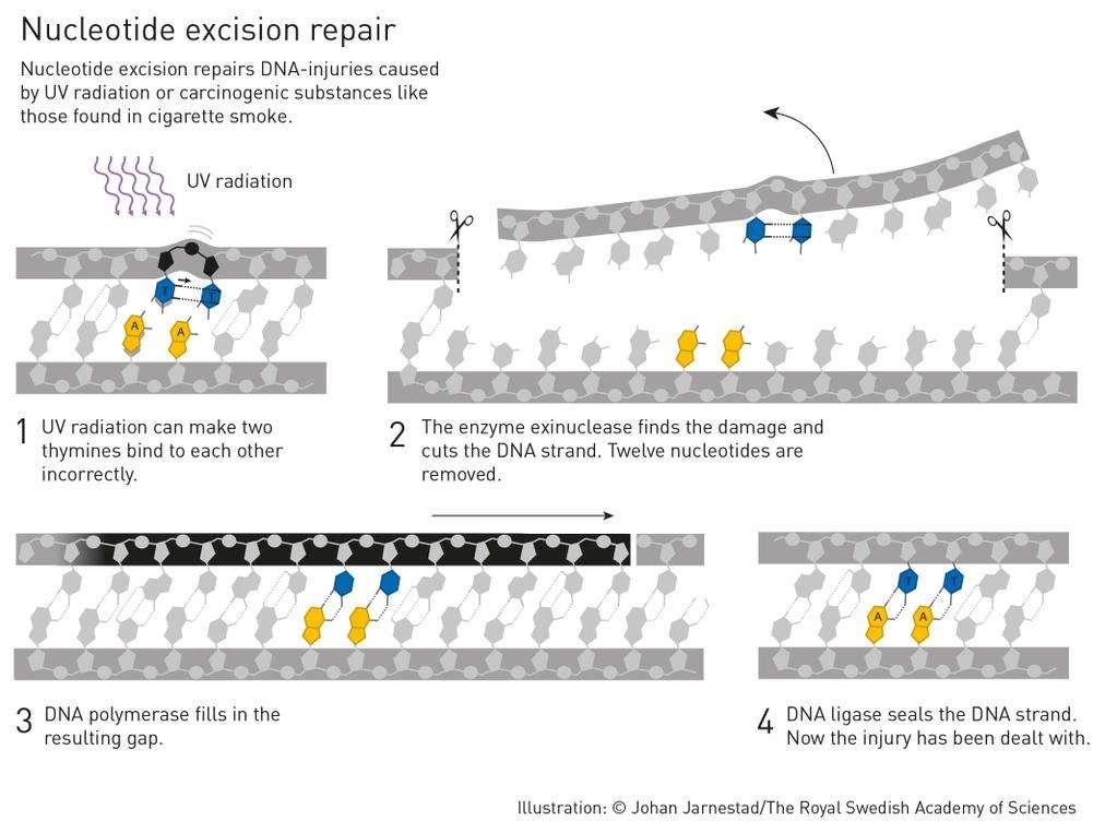 Les travaux d'Aziz Sancar décrivent comment l'ADN peut être réparé après des lésions typiquement dues aux rayonnements UV : des ponts entre thymines (en bleu). © Johan Jarnestad, The Royal Swedish Academy of Sciences