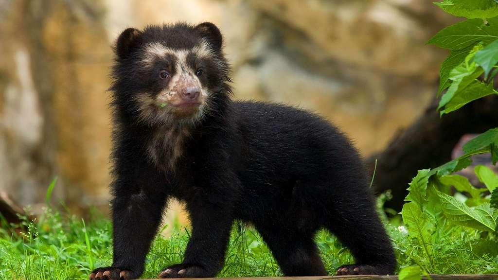 Un petit ours à lunettes