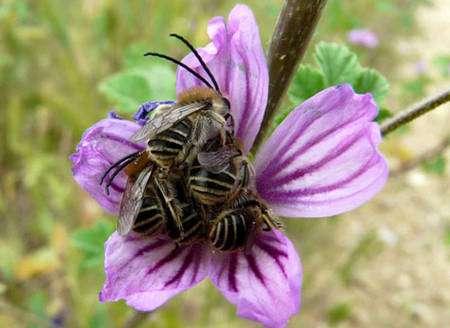 Cette corolle de Malva sylvestris accueille une grappe d'Eucera sp. mâles pour la nuit, un abri peu commun. Ce phénomène de rassemblement n'est pas encore bien compris mais il pourrait s'agir d'une manière de défense contre les prédateurs. En effet, les eucères sont des abeilles solitaires qui n'ont, a priori, aucune raison particulière de se regrouper ainsi. Le fait de dormir en « grappes » pourrait être une intimidation vis-à-vis d'agresseurs éventuels, qui ferait paraître la proie plus grosse qu'elle ne l'est en réalité. © Patrick Straub