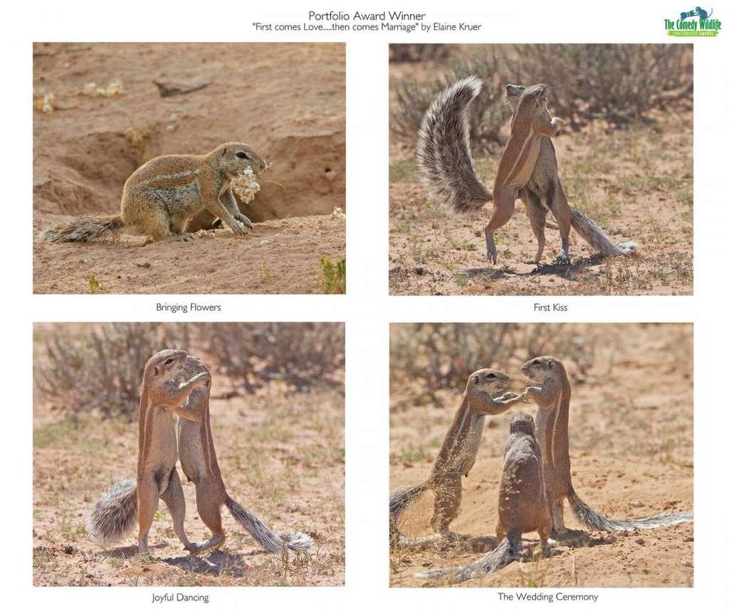 Chez les écureuils du Cap, les relations amoureuses sont prises très au sérieux. © Elaine Kruer, Comedy Wildlife Photography Awards