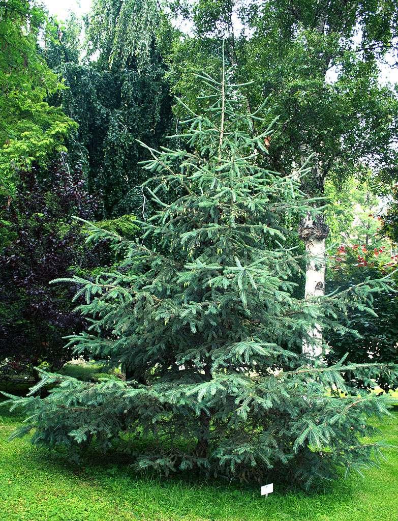 Le bois de la sapinette blanche Picea glauca, ou épinette blanche, est utilisé comme bois de charpente pour sa résistance et sa dureté. © Karelj, DP