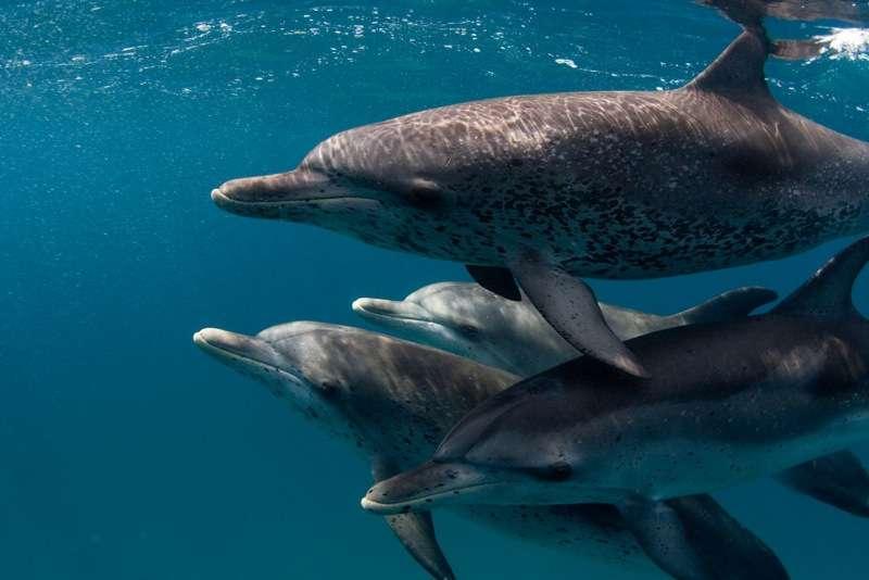 Certaines espèces de mammifères sont connues pour leur capacité à se repérer à l'aide des échos sonores. Les dauphins par exemple repèrent ainsi leurs proies, même quand elles sont enfouies sous le sable. © Wllly Volk, Flickr, cc by bc sa 2.0