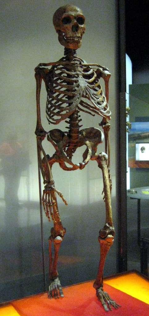 Les squelettes de l'Homme de Néandertal et de l'Homme moderne sont relativement similaires. Homo neanderthalensis (que l'on voit ici) est cependant plus trapu qu'Homo sapiens. Sa taille moyenne devait être comprise entre 1,55 et 1,65 mètre. © Claire Houck, Flickr, cc by sa 2.0