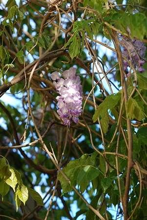 Wistaria sinensis. © Photozou, DR