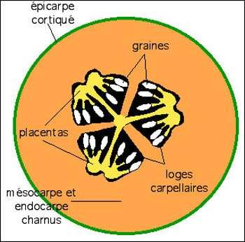 Schéma interprétatif d'une coupe transversale de melon. Le péricarpe du fruit est formé de trois carpelles fermés soudés, séparés par des cloisons (en orange) et limitant trois loges (en noir). © B.Media, DR
