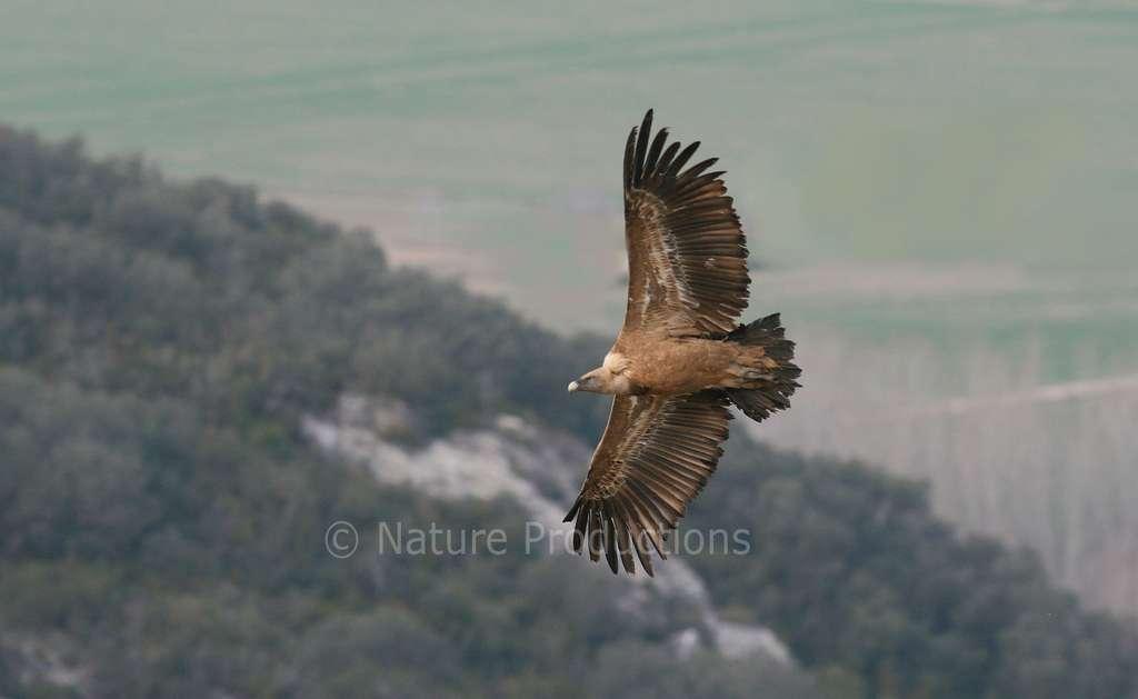 Jusqu'à 2,8 m d'envergure, le vautour fauve est un roi de la glisse aérienne. © C. Aussaguel, DR