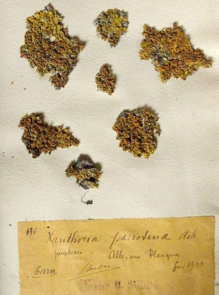 Échantillons d'herbier de Xanthoria parietina collectés dans le Tarn par Henri Sudre en 1900 (Université Paul Sabatier, Toulouse). © Yannick Agnan - Tous droits réservés