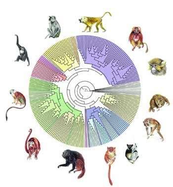 Grâce à PhyML, on a pu reconstruire l'arbre phylogénétique des primates à partir de séquences d'ADN représentant plus de 900 000 paires de bases. Chaque nœud correspond à un ancêtre commun, et la longueur des branches, au temps d'évolution. © F. Chevenet /IRD.