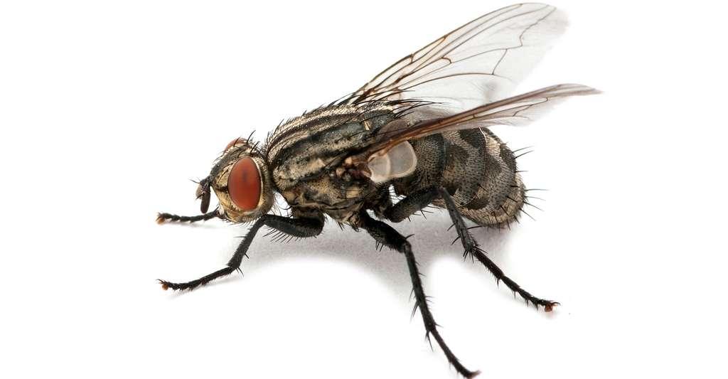 Dans une société mondialisée, les espèces d'arthropodes présents dans les habitations, comme les mouches, se retrouvent dans le monde entier. © irin-k, Shutterstock