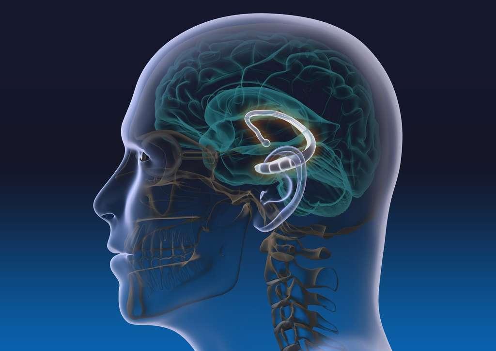 Localisation de l'hippocampe dans le cerveau. © Alex, Fotolia