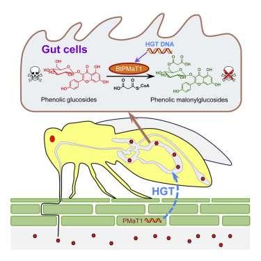 La mouche Bemisia tabaci intègre le gène de la plante via un virus, lui permettant d'acquérir une « immunité » contre les toxines produites par cette plante. © Youjun Zhang et al, Cell, 2021