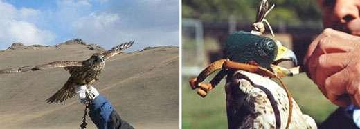 Maintien du faucon sur la main (à gauche) et chaperon posé sur la tête du faucon (à droite). © Reproduction et utilisation interdites
