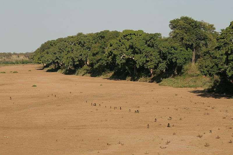 Troupe de babouins chacmas dans le lit à sec d'une rivière. © NJR ZA, CC by-SA 3.0